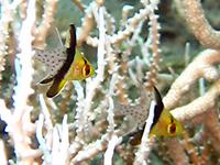 マンジュウイシモチ幼魚